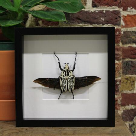 Super Opgezette, ingekaderde insecten   Insecten Design MJ-04